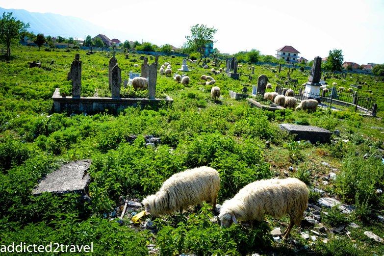 owce pasą się na cmentarzu
